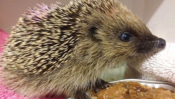 Rescued Hedgehog at Chichester Brent Lodge Wildlife Hospital