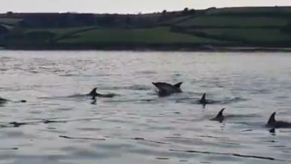 Dolphins in Falmouth Harbour