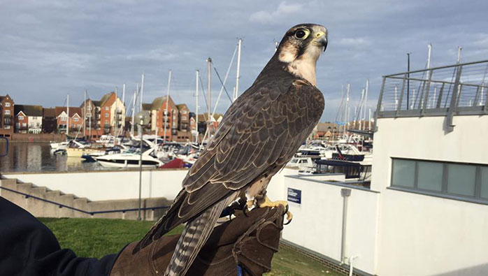 East Sussex Falconry Flys to Move Starlings at Eastbourne Marina
