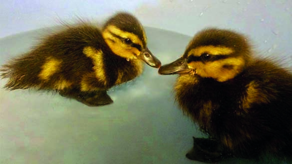 Baby ducklings at Brent Lodge